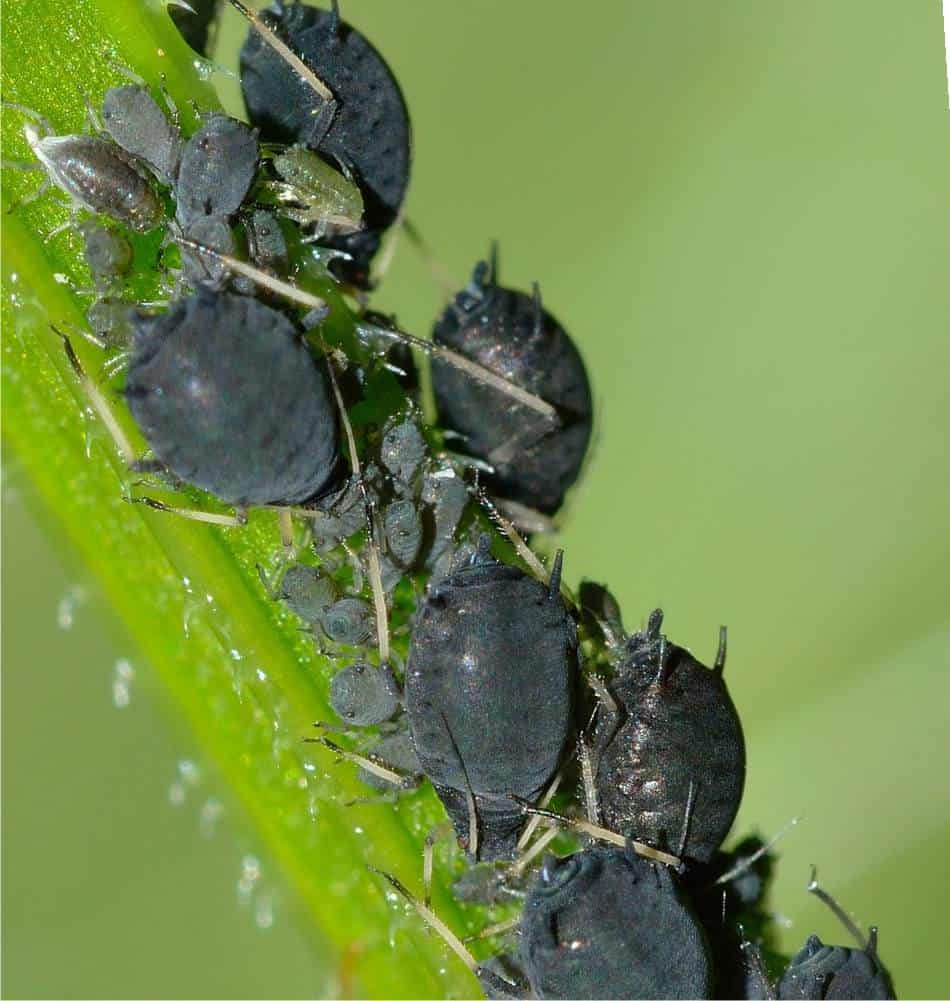 Come Far Morire Una Pianta combattere gli afidi: difesa biologica dell'orto
