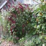 coltivare l'amaranto nell'orto