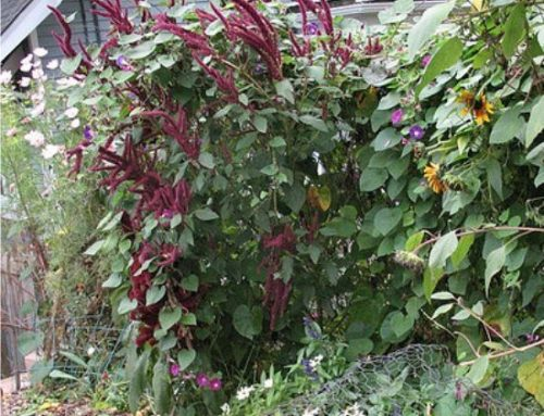 Coltivare l'amaranto