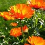 fiore della calendula