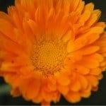 fiore officinale di calendula