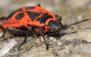 Difendere l 39 orto biologico dalle cimici for Cimice marrone