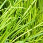 Erba cipollina: semina e coltivazione