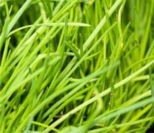foglie di erba cipollina