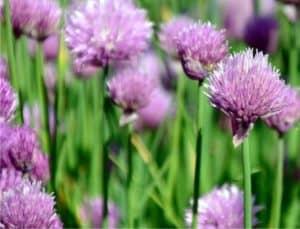 fiori di erba cipollina