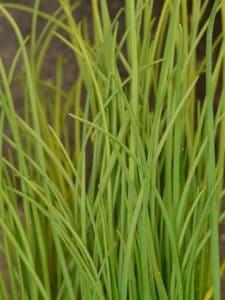 l'erba cipollina, un cespuglio
