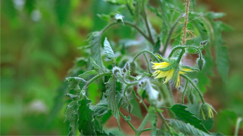 fiore del pomodoro