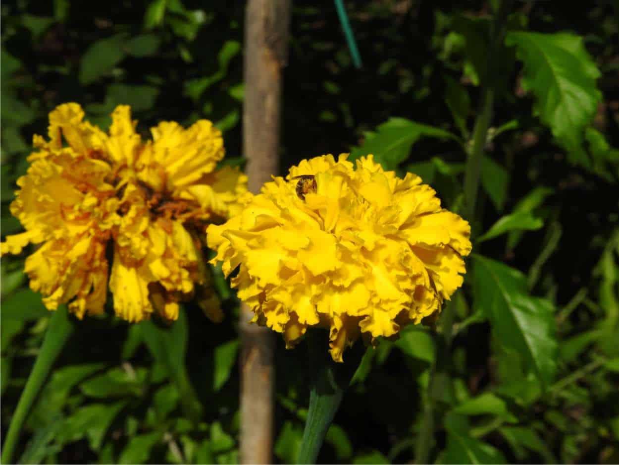 fiori di tagete