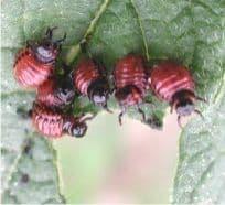 larve di dorifora su una foglia