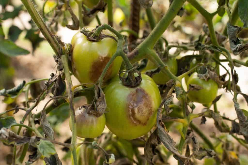 malattie del pomodoro