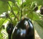 la melanzana coltivata