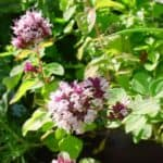 pianta di origano aromatico