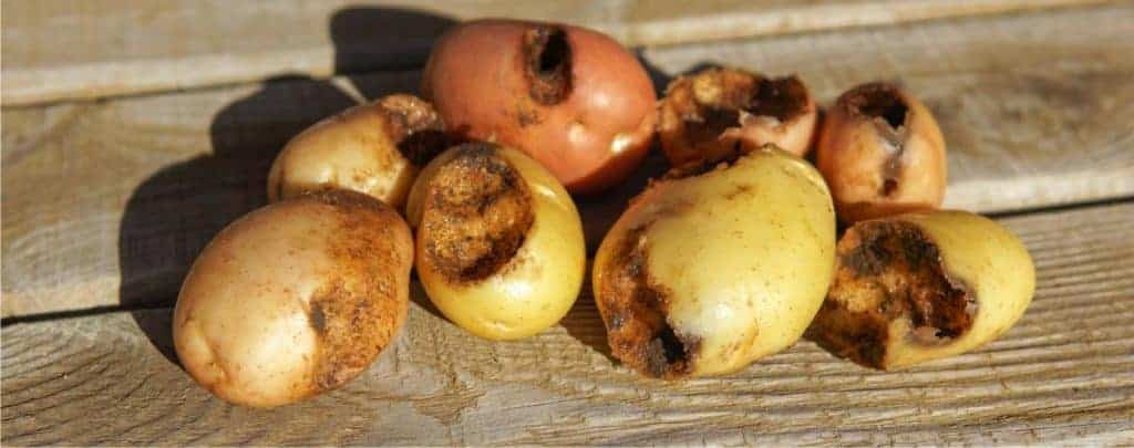 patate mangiate da grillotalpa