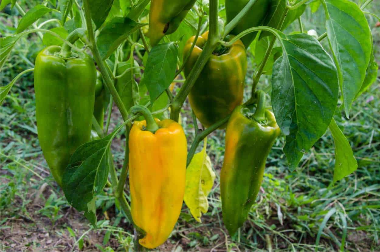 Come Far Morire Una Pianta coltivare i peperoni nell'orto