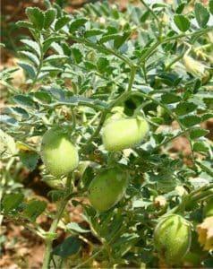 una coltivazione di ceci nell'orto