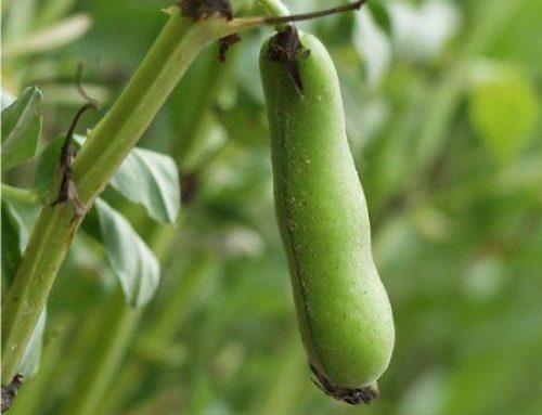 Il marciume radicale del fagiolo e del fagiolino