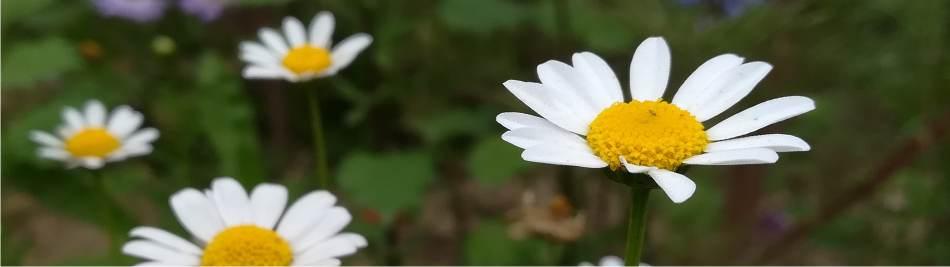 crisantemi di piretro