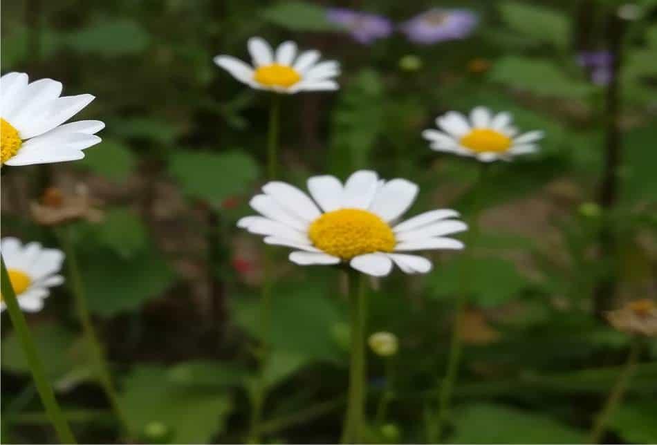 fiori di piretro