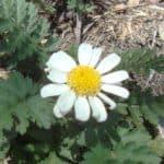 fiore piretro