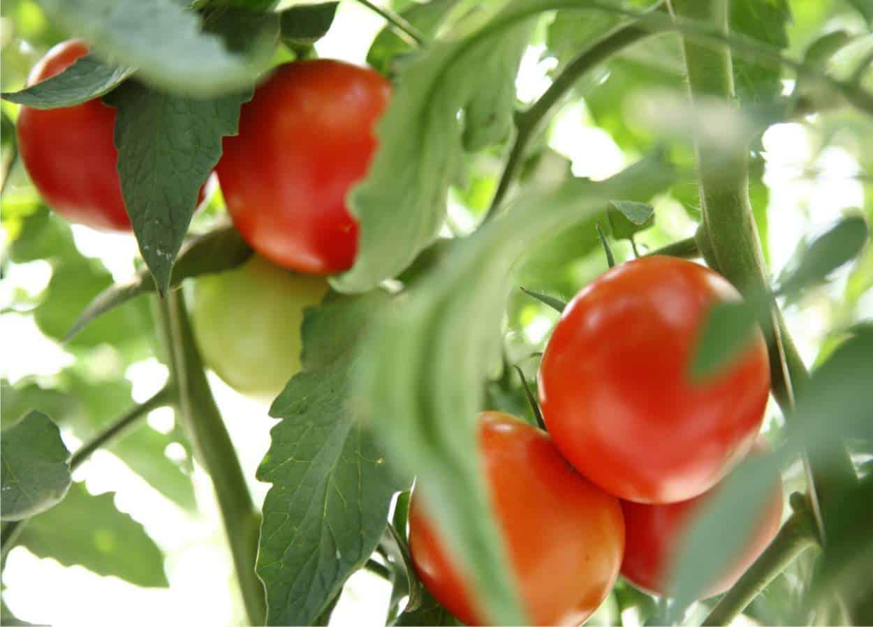 Come Coltivare Pomodori Sul Balcone come si coltiva il pomodoro | orto da coltivare