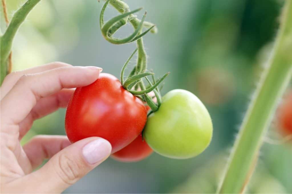 raccolto di pomodoro