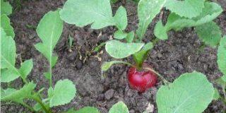 Far crescere i ravanelli nell'orto
