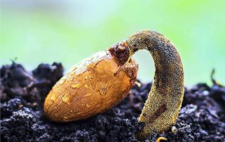 seme che germina