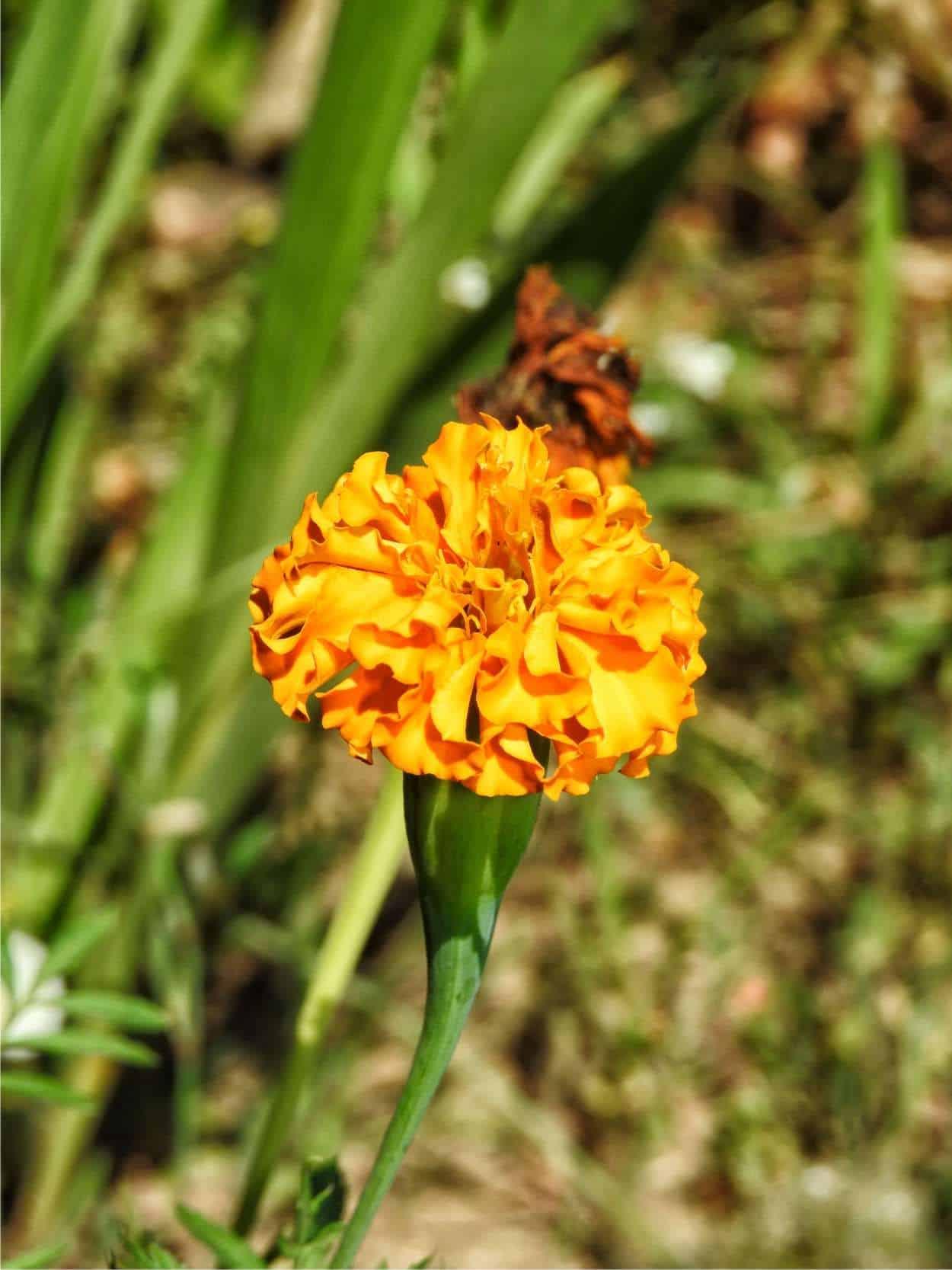 Tagete: coltivare un fiore contro i nematodi