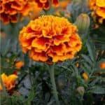 Tagete, un fiore contro i nematodi