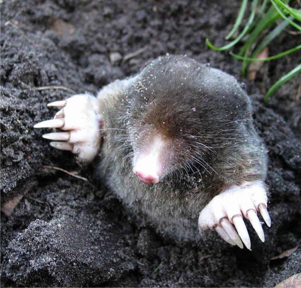 Animali Da Giardino In Plastica.Allontanare Le Talpe Dall Orto