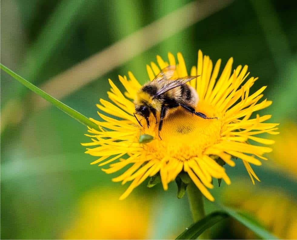 fiore di tarassaco con ape