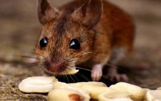 topo che mangia semi