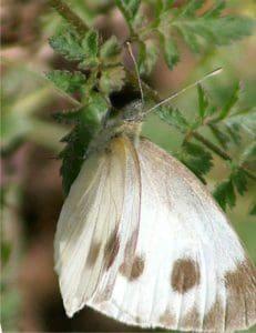 la farfalla cavolaia