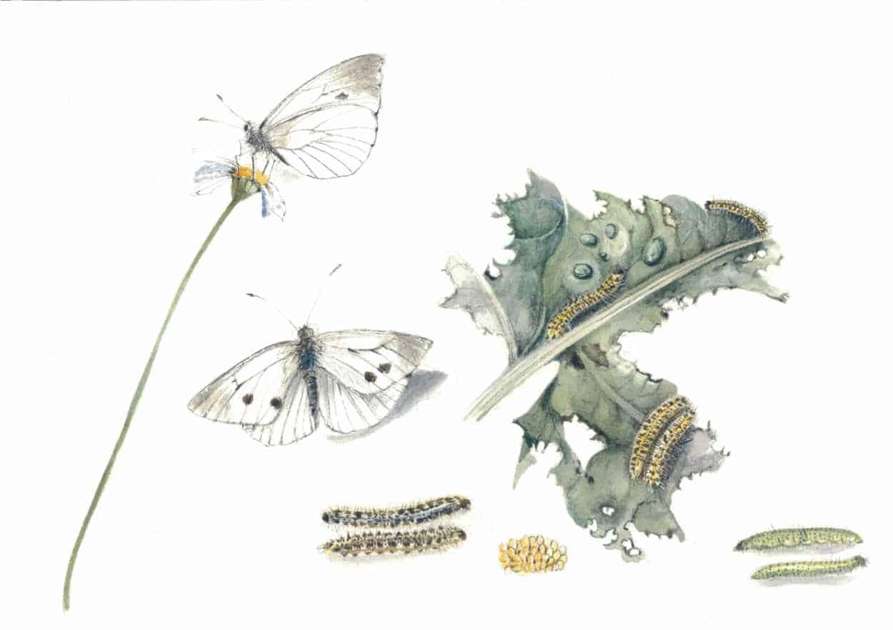 cavolaia-insetto