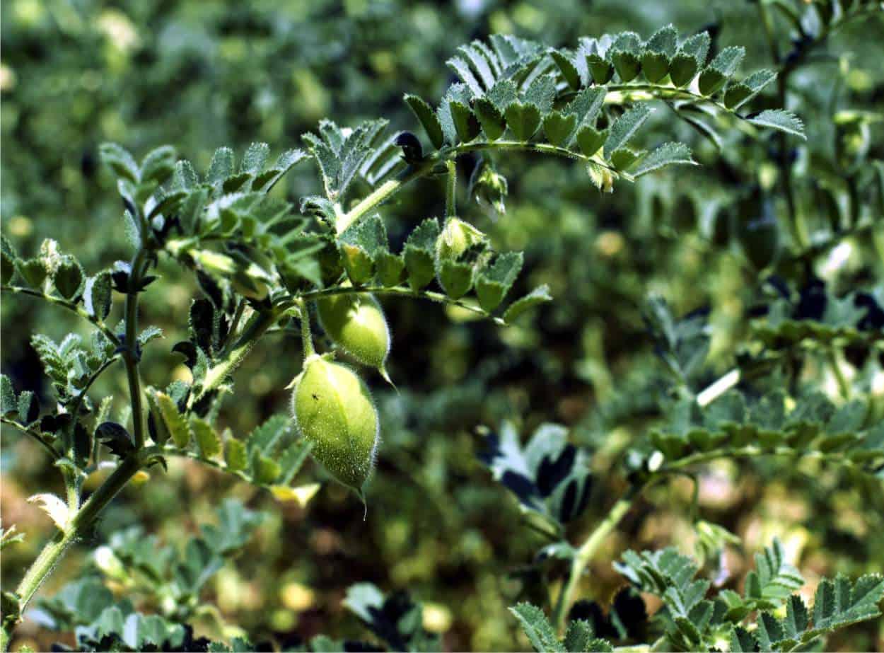 Come Seccare Le Piante coltivazione dei ceci: dalla semina al raccolto