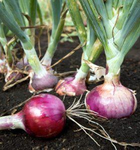 coltivazione di cipolle nel terreno