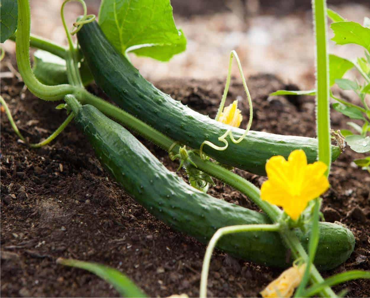 Come si coltiva il cetriolo