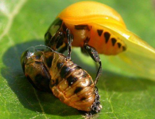 Difendere l'orto con la lotta biologica