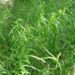 Dragoncello Estragone: le spezie dell'orto
