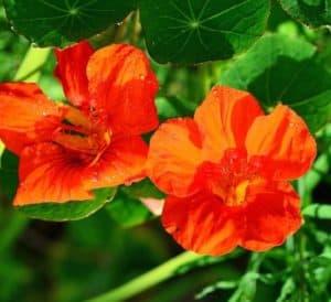 nasturzio fiore