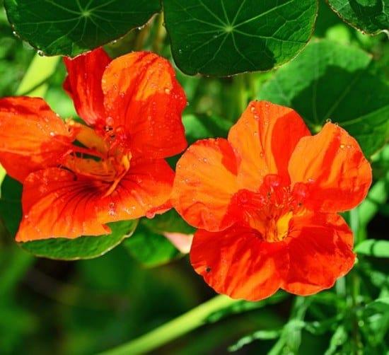 Il nasturzio o tropeolo coltivazione - Calendario semina fiori ...