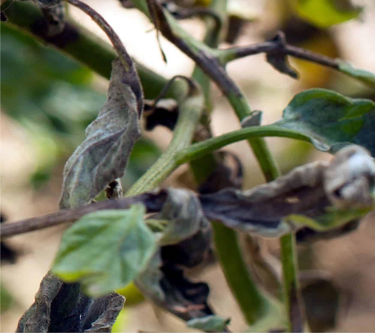foglie nere con peronospora