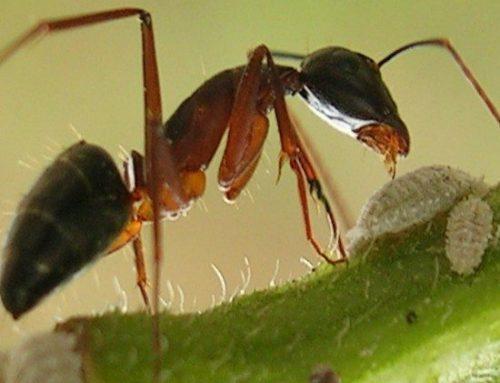 Le formiche nell'orto: come allontanarle