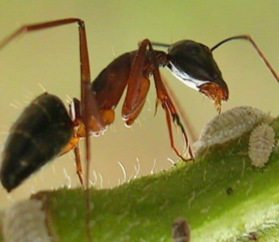 una formica