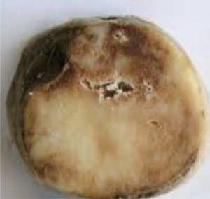mummificazione della patata