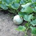 la pianta del melone