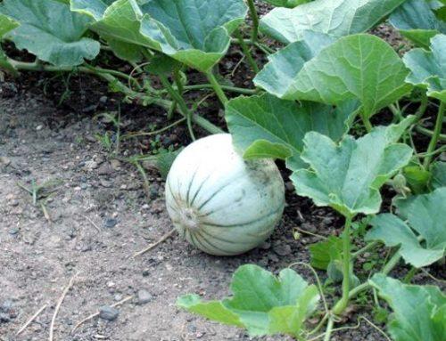 Il melone: consigli e scheda di coltivazione