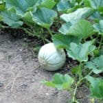 meloni coltivati