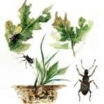 Oziorrinco: larve nel terreno