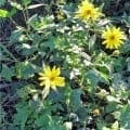 pianta del topinambur